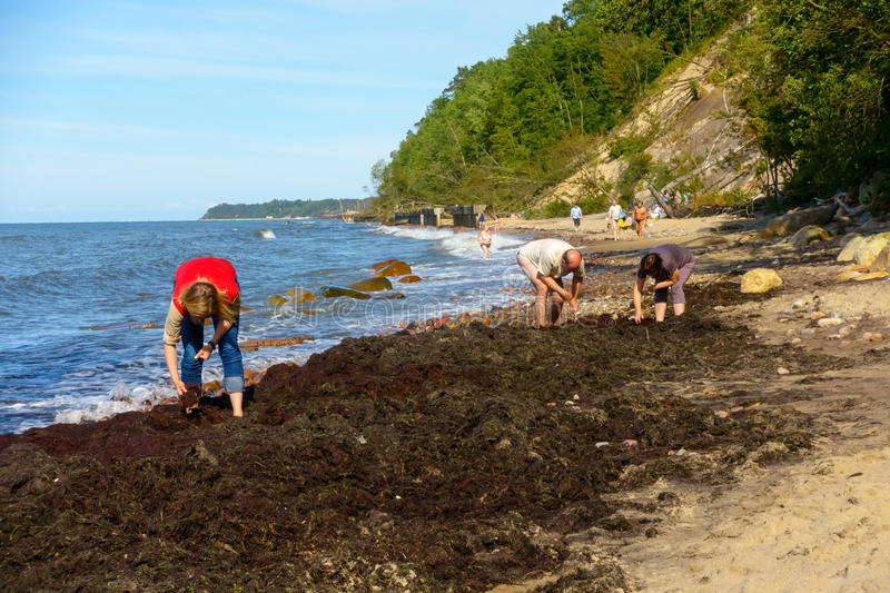 People looking for amber in seaweed on the shore of the Baltic Sea. Otradnoe, Russia - July 14, 2017: People looking for amber in seaweed on the shore of the royalty free stock images