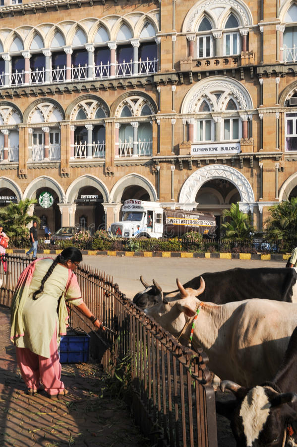 People offering food to holy cow at Mumbai, India. Mumbai, India - 6 january 2015: People offering food to holy cow at Mumbai, India stock photo