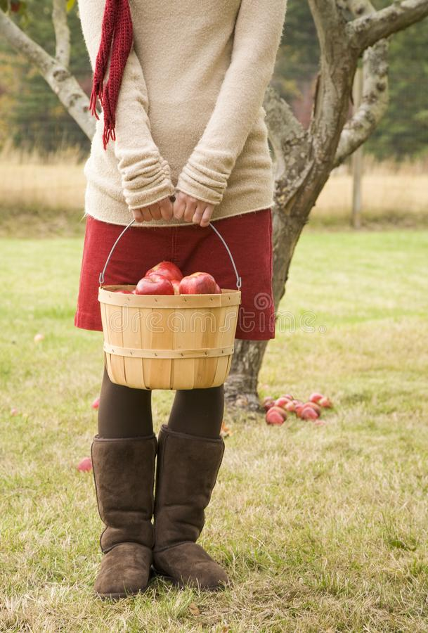 Young woman holding bushel basket of apples in orchard. She is wearing casual fall fashions sweater, corduroy skirt and suede stock images