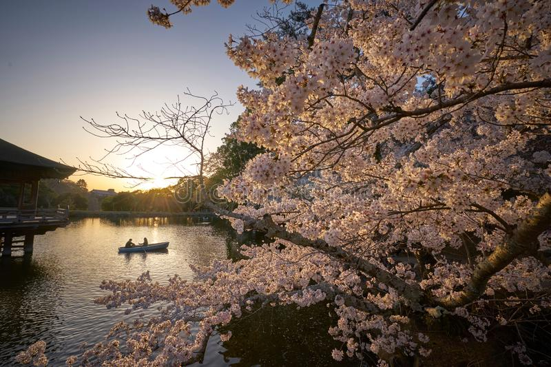 People paddle in boat with beautiful cherry blossom tree. At Ukimido Pavillion Pond, Nara royalty free stock image