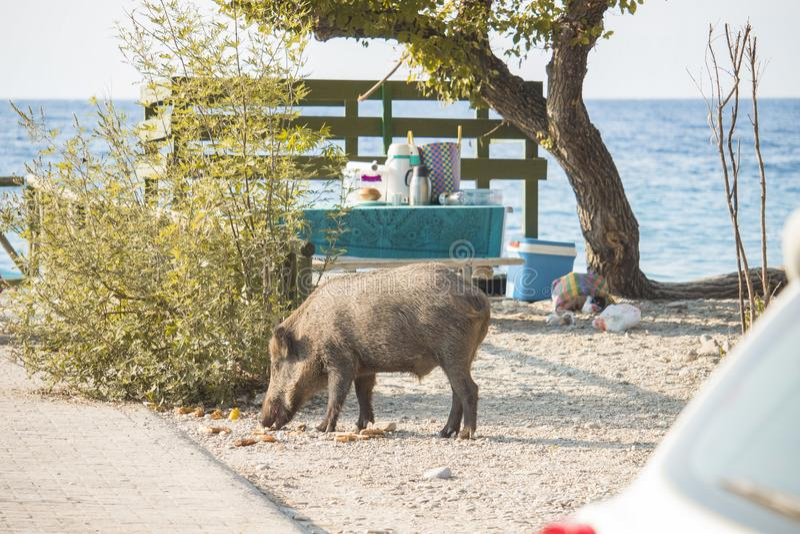 pig eats food stock image