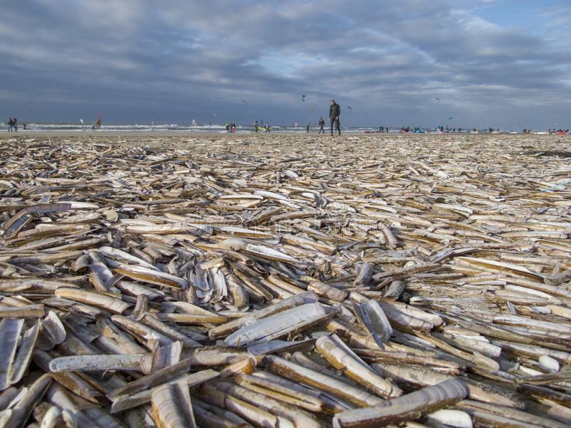 Aquatic activities at a beach covered with razor sword shells in The Netherlands. People spending their day off kite surfing or walking at the North Sea beach royalty free stock photos