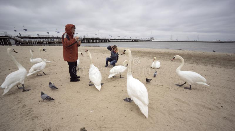 People and Swans in Sopot on the beach. Poland, Sopot, 23. 05. 2019: The most famous object and attraction is the wooden sea mole Molo, the longest in Europe royalty free stock photo