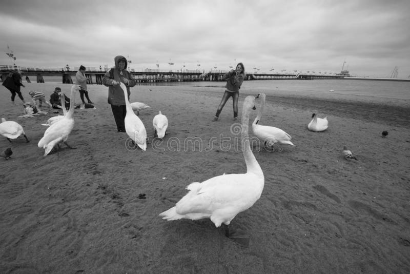 People and Swans in Sopot on the beach. Poland, Sopot, 23. 05. 2019: The most famous object and attraction is the wooden sea mole Molo, the longest in Europe royalty free stock photos