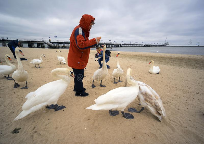 People and Swans in Sopot on the beach. Poland, Sopot, 23. 05. 2019: The most famous object and attraction is the wooden sea mole Molo, the longest in Europe stock images
