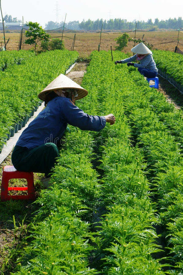 People tend flower on garden. BA RIA, VIETNAM- JAN 20: People tend flower on garden, green marigold with bud in row on soil, farmer sitting and pull grass from royalty free stock photo
