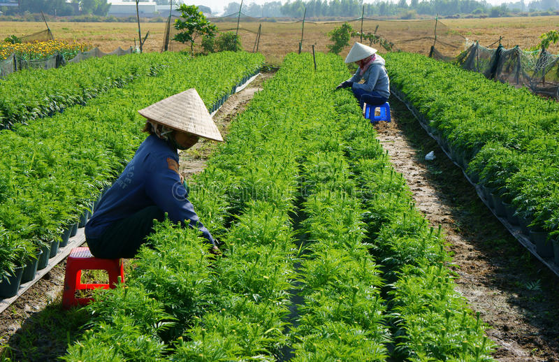 People tend flower on garden. BA RIA, VIETNAM- JAN 20: People tend flower on garden, green marigold with bud in row on soil, farmer sitting and pull grass from stock photography