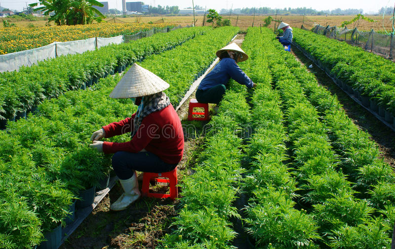 People tend flower on garden. BA RIA, VIETNAM- JAN 20: People tend flower on garden, green marigold with bud in row on soil, farmer sitting and pull grass from stock image