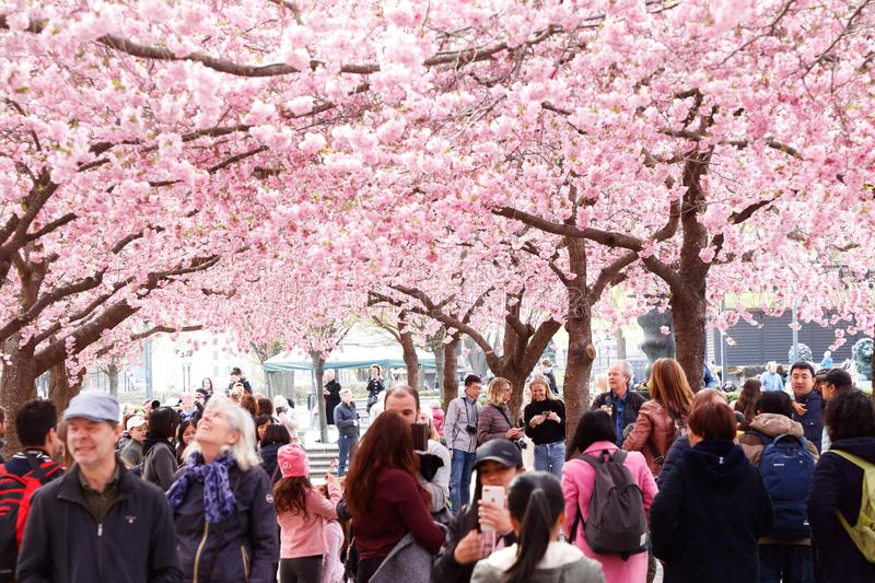 People under blooming cherry trees royalty free stock photo