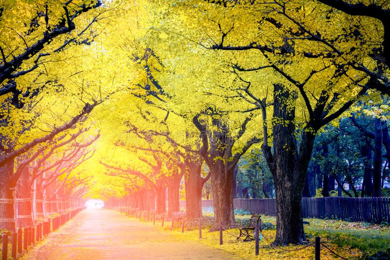People visit yellow ginkgo trees and yellow ginkgo leaves at Icho Namiki avenue Tokyo,Japan stock photos
