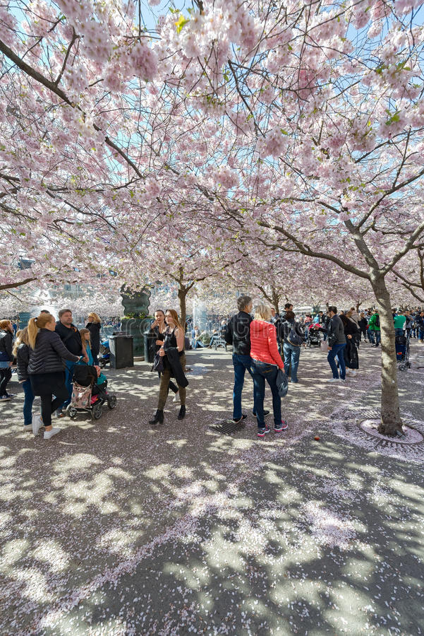 People walking in Kungstradgarden during the pink cherry blossom royalty free stock images