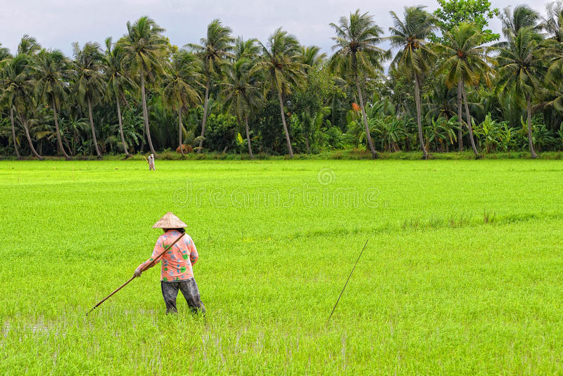 People work on rice field at Hong Ngu town in Dongthap, Vietnam.  stock photography