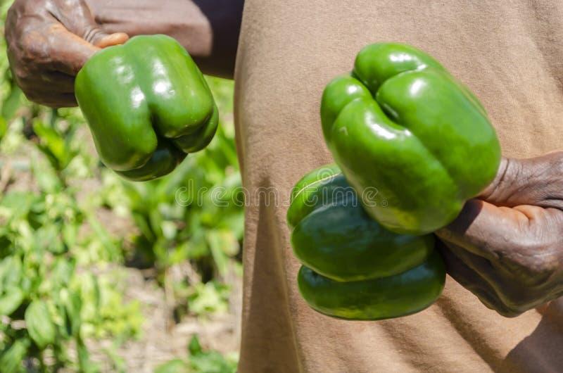 Pepe di Holding Mature Bell dell'agricoltore fotografie stock