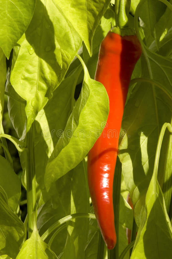 Pepe di peperoncino rosso - longum annuum del C. immagine stock libera da diritti