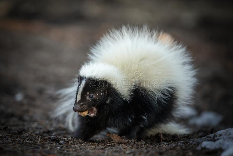 Pepe Le Pew Skunk fotografering för bildbyråer