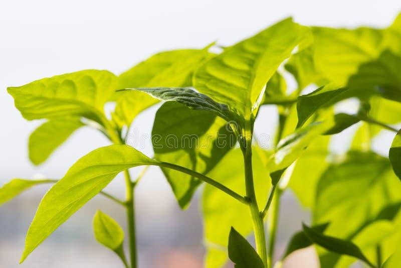 Peper met Bladeren in Sunny Day On Spring royalty-vrije stock afbeeldingen
