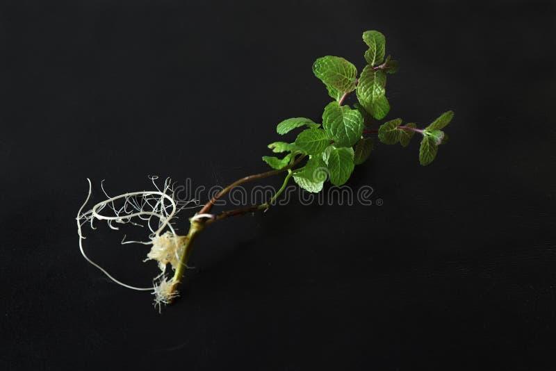 Pepermunt met wortel op een zwarte achtergrond royalty-vrije stock afbeelding