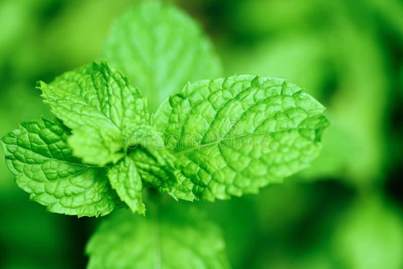 Pepermuntblad in de tuin - Verse muntbladeren in een aard groene kruiden of groenten stock foto's