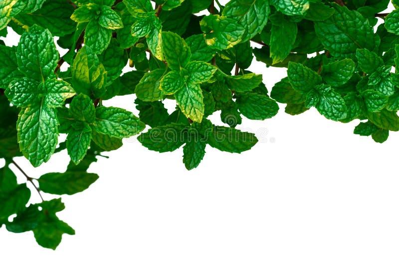 Pepermuntbladeren in tuin die op witte achtergrond wordt ge?soleerd stock foto's