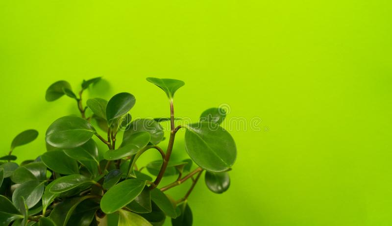 Peperomia home flower of green color. lime background royalty free stock images