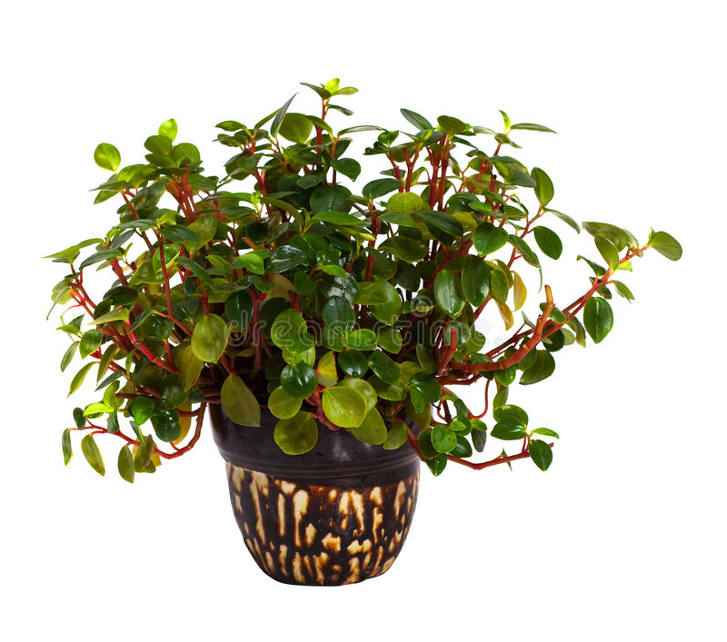 Peperomia in pot. Isolated on white. Peperomia obtusifolia in pot. Isolated on white background royalty free stock photography