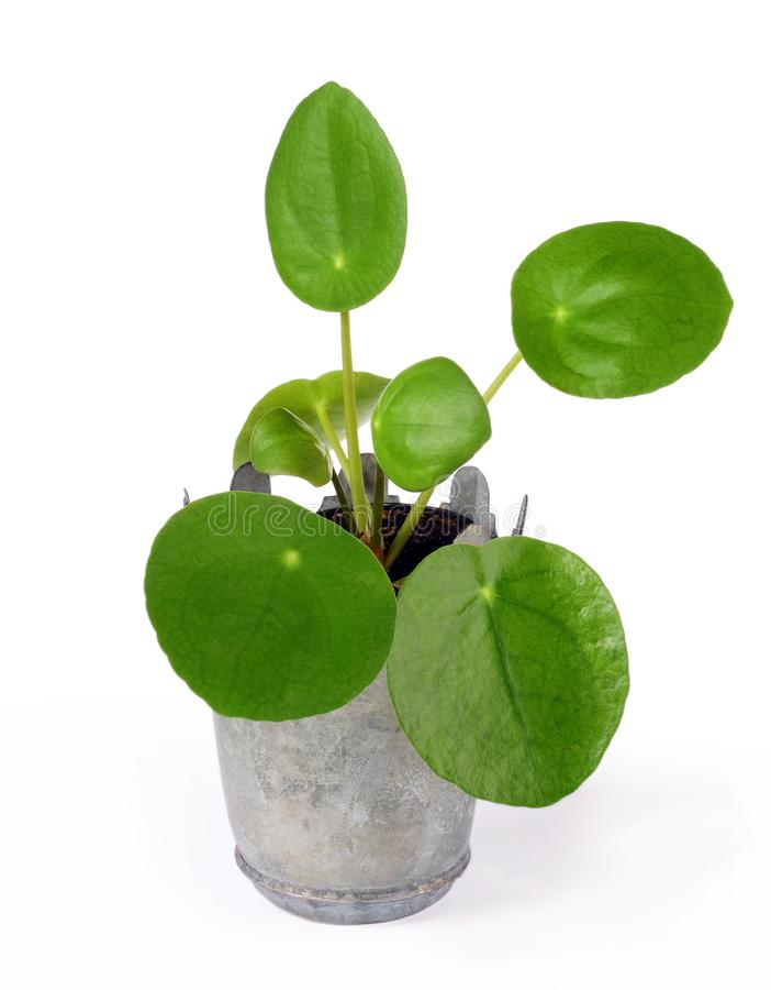 Peperomioides do Pilea, planta da panqueca imagem de stock royalty free