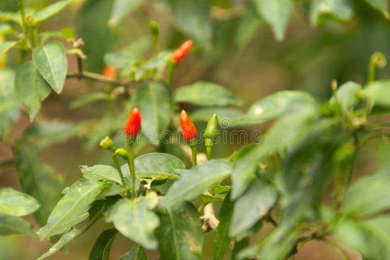 Peperoncino rosso di Birdseye fotografia stock libera da diritti