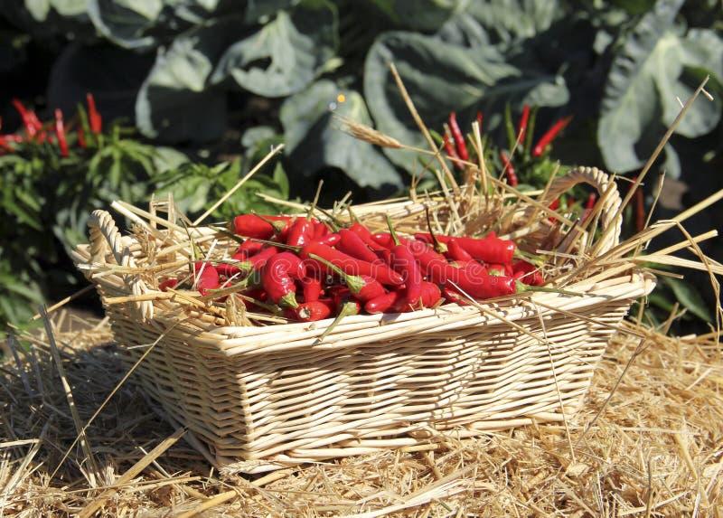 Peperoni freschi del giardino immagine stock libera da diritti