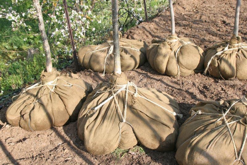 Download Pepiniery drzewo zdjęcie stock. Obraz złożonej z rolnictwo - 13327704
