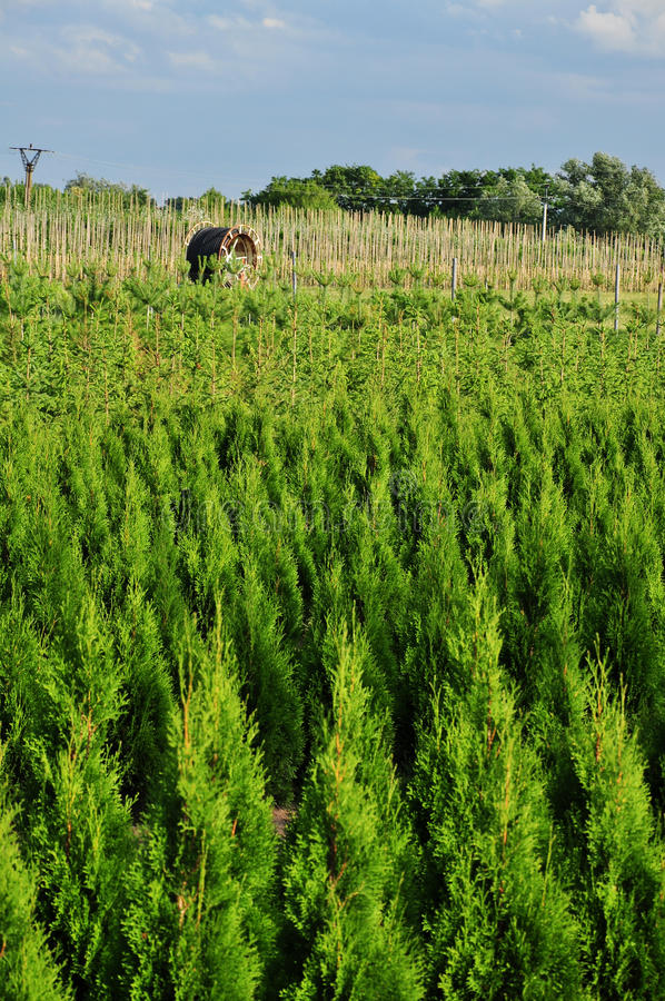 pepiniery plantaci drzewa zdjęcie royalty free