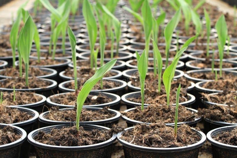 Pepiniery roślina Siam tulipan fotografia stock