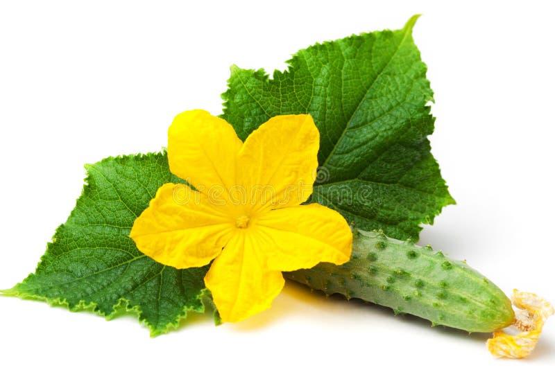Pepino con la flor y las hojas en el blanco imagenes de archivo