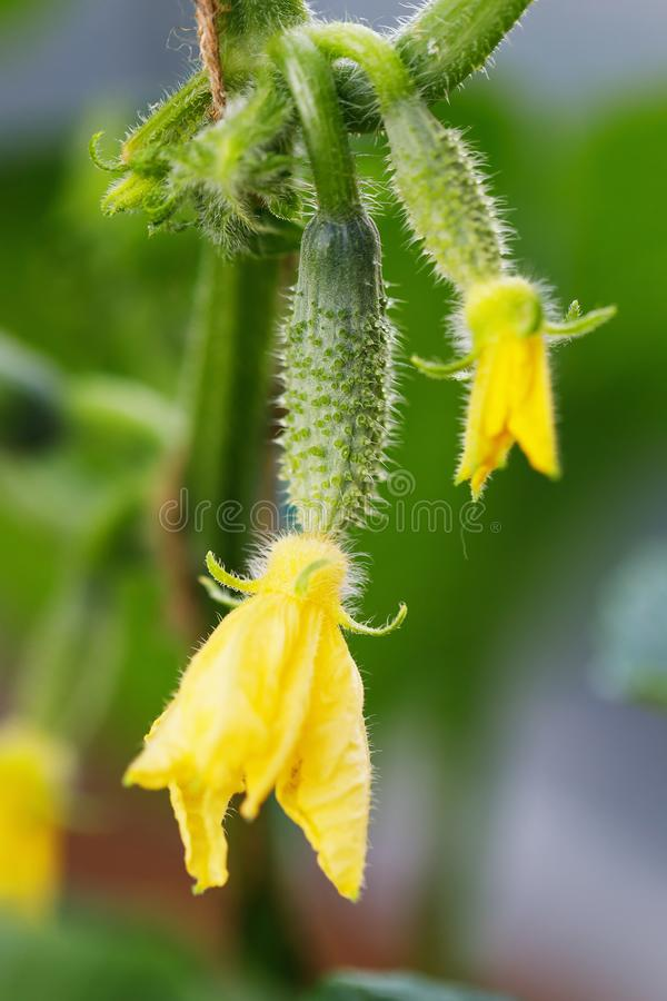 Pepino de la plántula con las flores amarillas Pepino fresco jugoso fotos de archivo