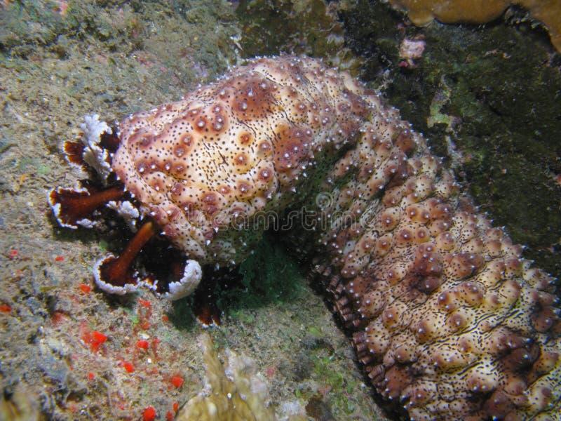 Pepino de mar fotografia de stock royalty free