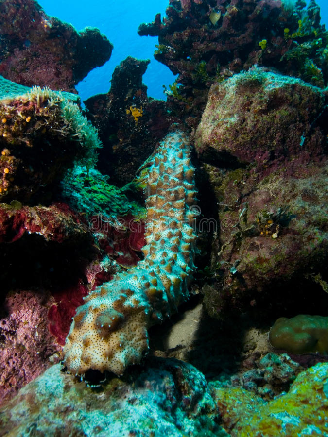 Pepino de mar foto de stock royalty free