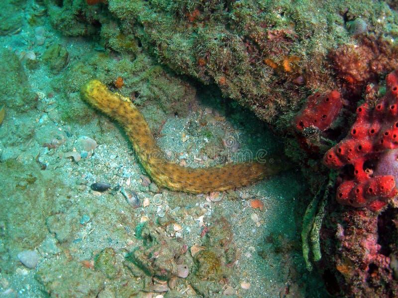 Pepino de mar fotos de stock
