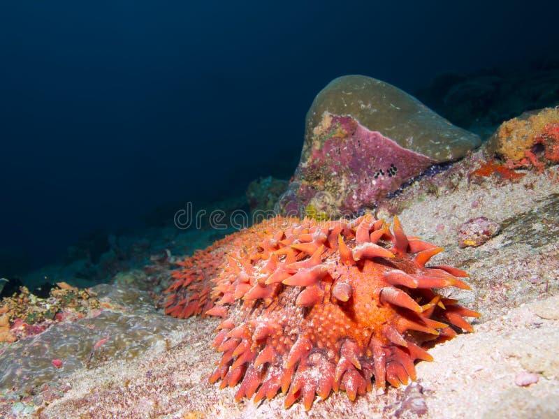 Pepino de mar de la piña imagen de archivo libre de regalías