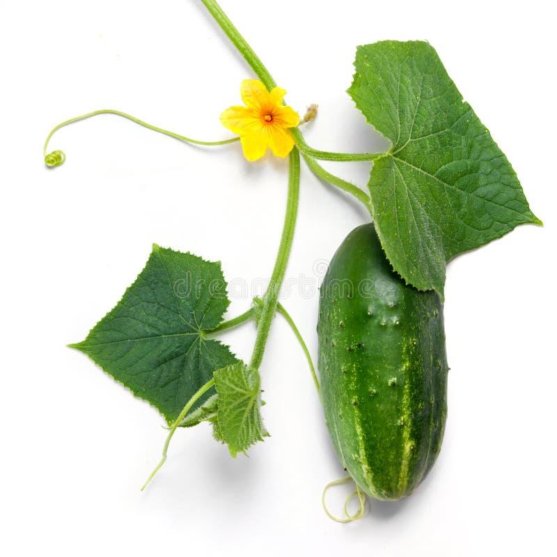 Pepino verde con las hojas y la flor foto de archivo