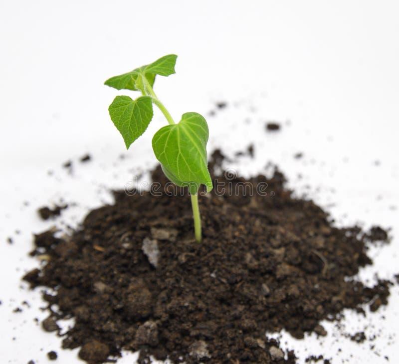 Pepino verde que crece en el jardín imagen de archivo