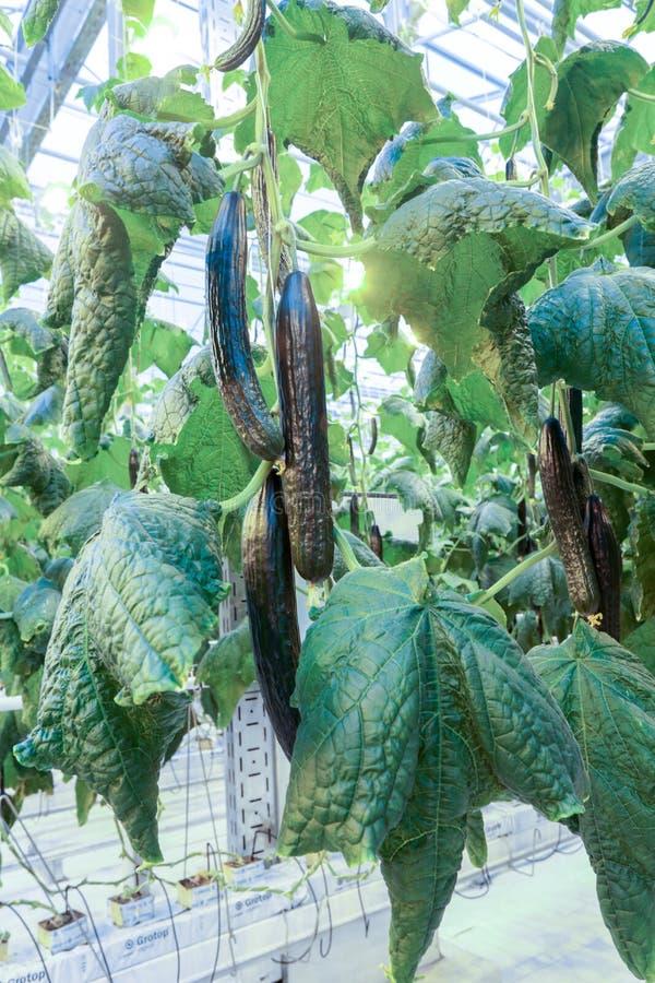 Pepinos da estufa dos tamanhos enormes que penduram no ` das lianas do ` crescido com o uso do ` da hidroponia do ` da tecnologia imagens de stock