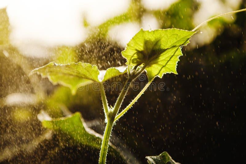 Pepinos de riego en el invernadero, tiro del primer Cucumis del cuidado y del cultivo sativus foto de archivo libre de regalías