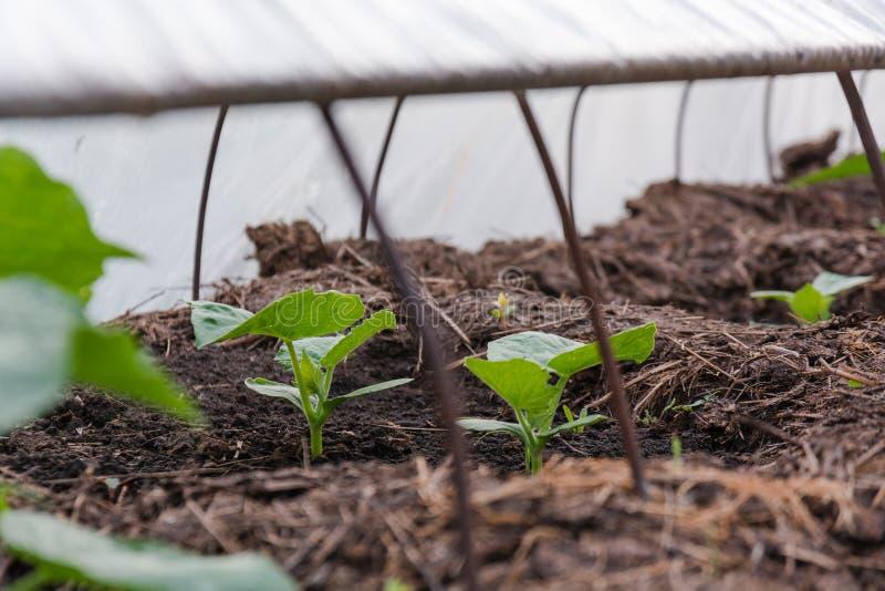 Pepinos en una cama Árbol joven del pepino El pepino joven crece en una cama foto de archivo libre de regalías