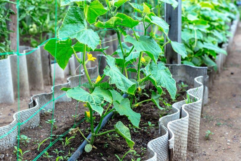 Pepinos novos em um jardim pequeno fotos de stock royalty free