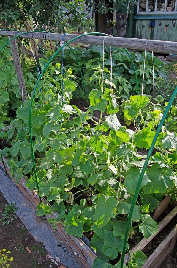 Pepinos novos no jardim fotografia de stock royalty free