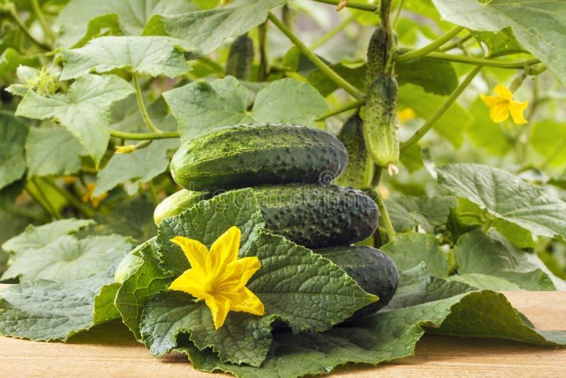 Pepinos orgánicos frescos en la tabla de madera en jardín contra la perspectiva de las plantas vegetales Concepto sano de la form imagenes de archivo