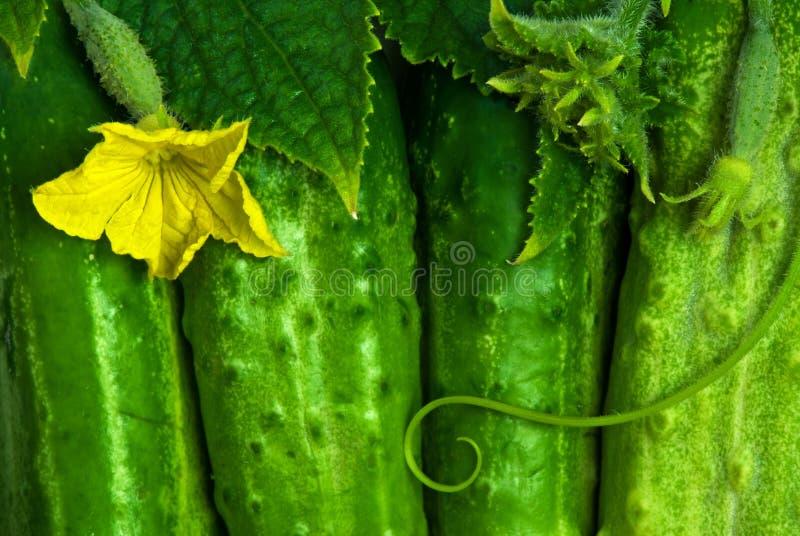 Pepinos verdes foto de archivo