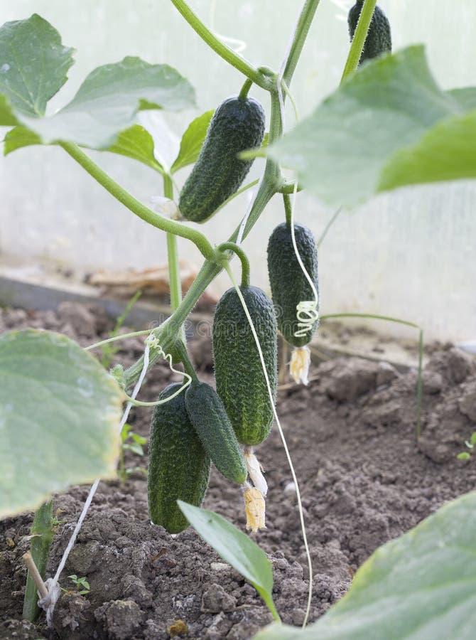 Pepinos verdes en el invernadero, alimento biológico imagenes de archivo
