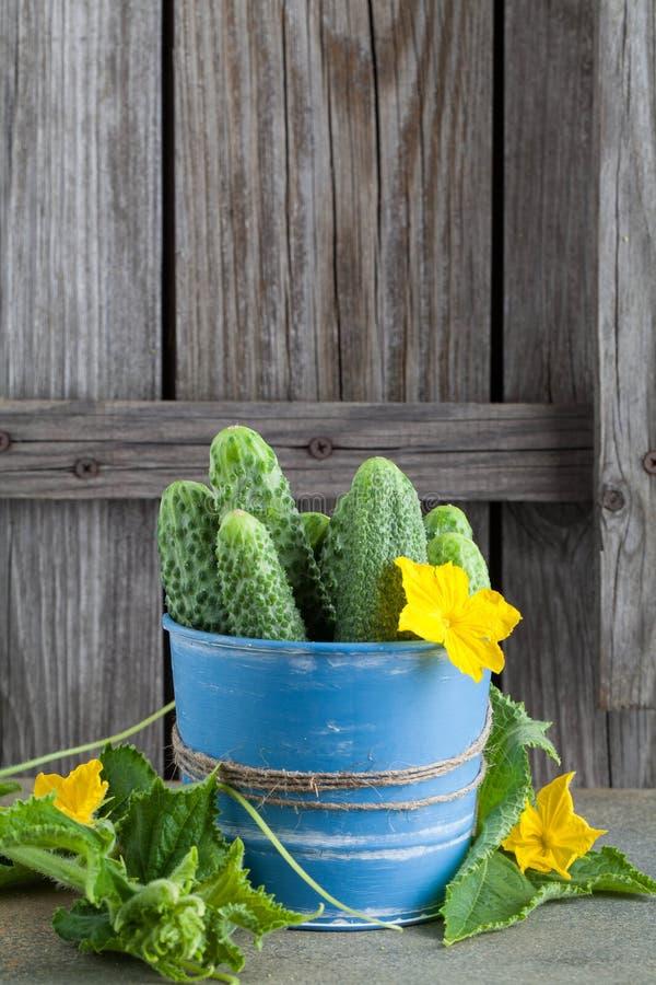 Pepinos verdes en un cubo azul en un viejo fondo de madera fotos de archivo
