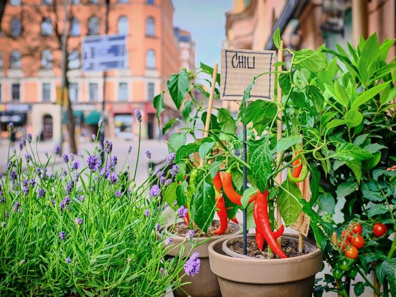 Peppar för röd chili i en kruka på en stadsgatabakgrund royaltyfri bild