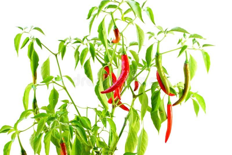 Peppar för röd chili på växten i vit bakgrund royaltyfria foton